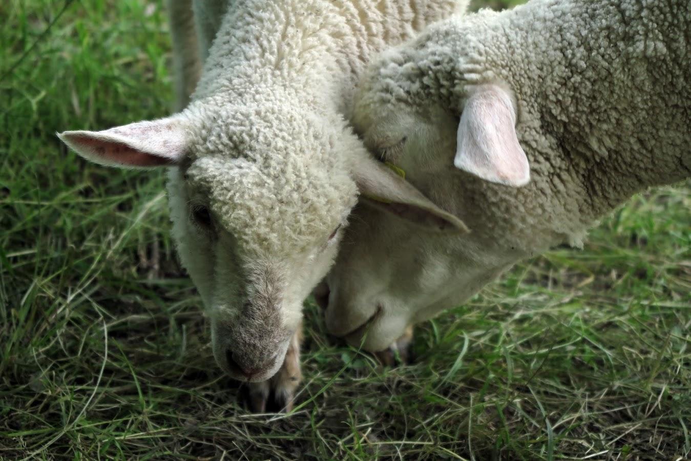 mouton profil